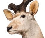 Kuduhaupt