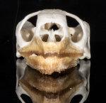 Pantherschildkröten Schädel L