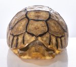 Schnabelbrust Schildkrötenpanzer