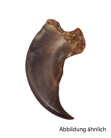 Schwarzbärkrallen 4,5cm