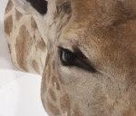 Giraffenhaupt