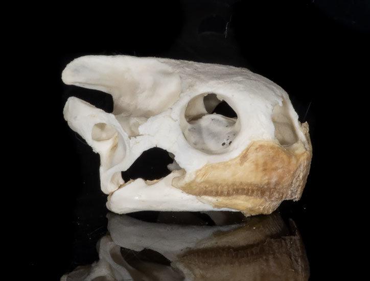 Pantherschildkröten Schädel XXL