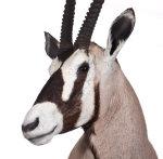 Oryxhaupt